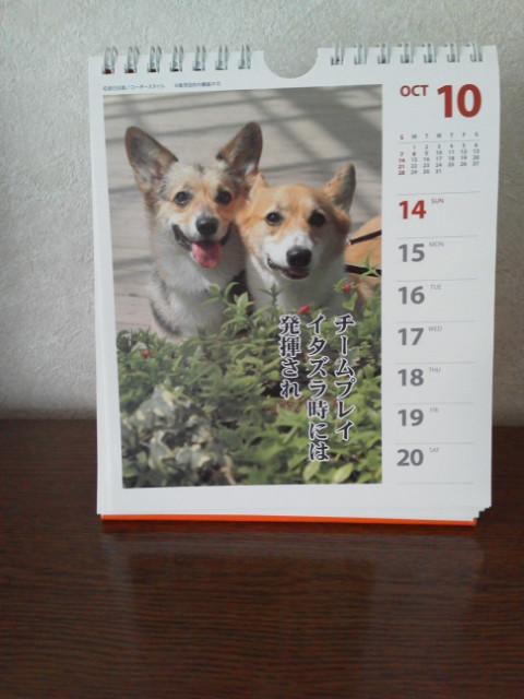 可愛いコーギー川柳カレンダー